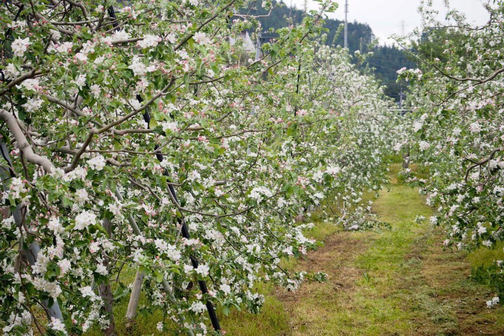 20160503-P5030015-1024x683_畑を薄いピンクや白に染めるりんごの花