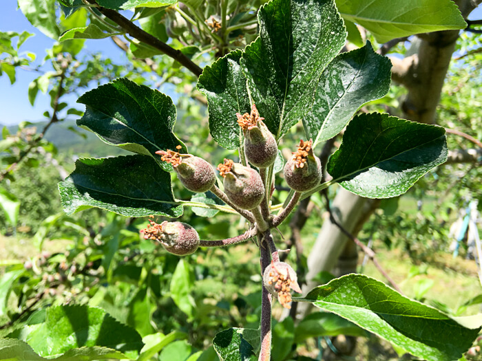 20160518-j_IMG_1763-161_りんごの予備摘果