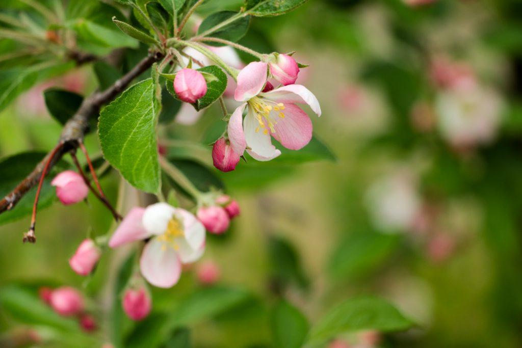 20170512-IMG_0837-1024x683_畑を薄いピンクや白に染めるりんごの花