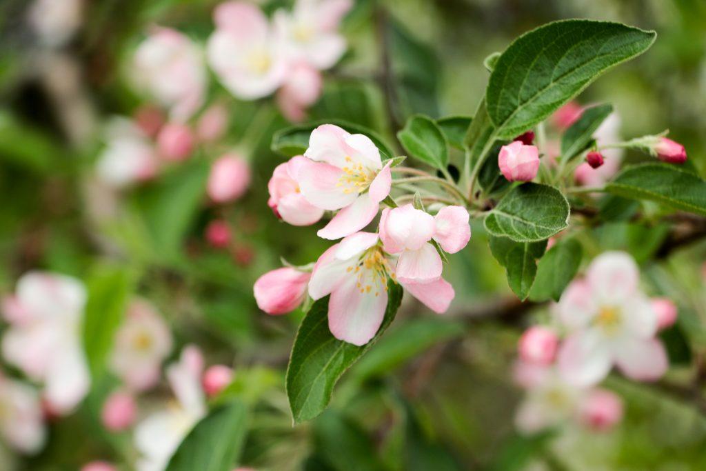20170512-IMG_0840-1024x683_畑を薄いピンクや白に染めるりんごの花