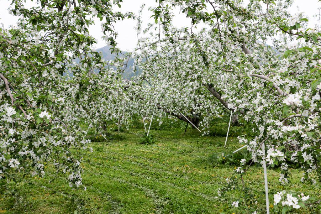 20170512-IMG_0848-1024x683_畑を薄いピンクや白に染めるりんごの花