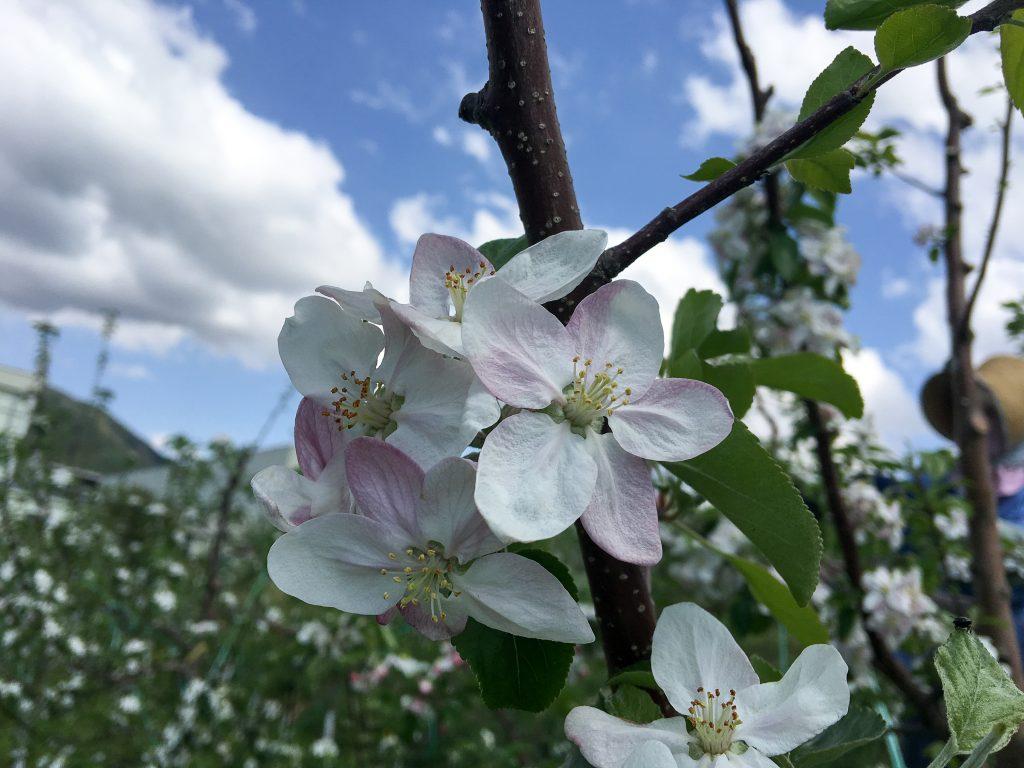 20170514-j_201705-480-1024x768_畑を薄いピンクや白に染めるりんごの花