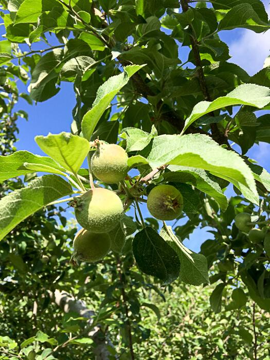 20170609-j_201706-11_りんごの予備摘果