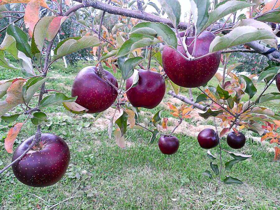 IMAG3762_長野県生まれ 人気のりんご3品種
