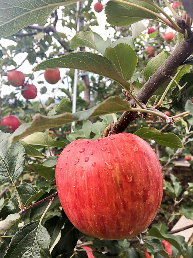 IMG_5205_信州りんご3兄弟の次男「シナノスイート」の収穫