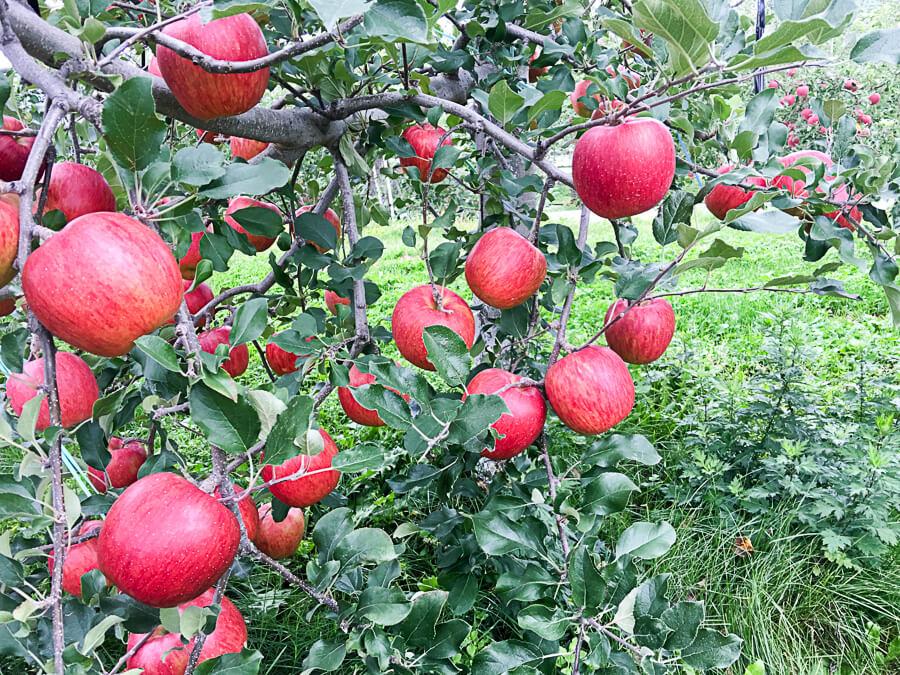 j_171020-53_信州りんご3兄弟の次男「シナノスイート」の収穫