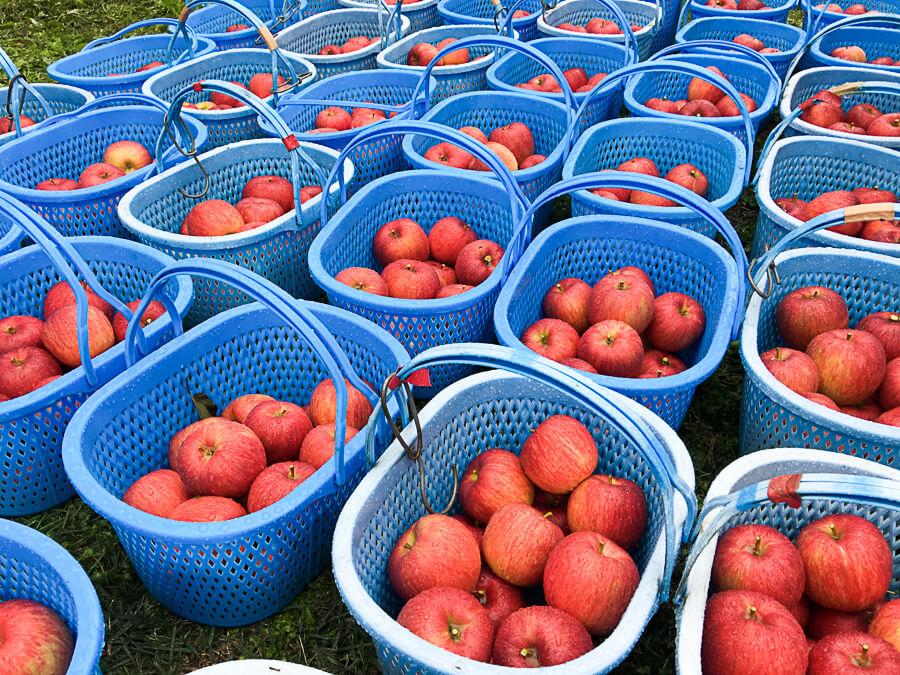 j_171020-56_信州りんご3兄弟の次男「シナノスイート」の収穫