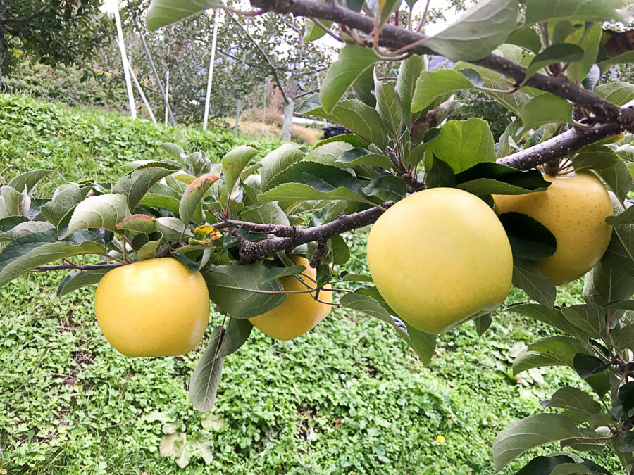 j_IMG_3975-69_長野県生まれ 人気のりんご3品種