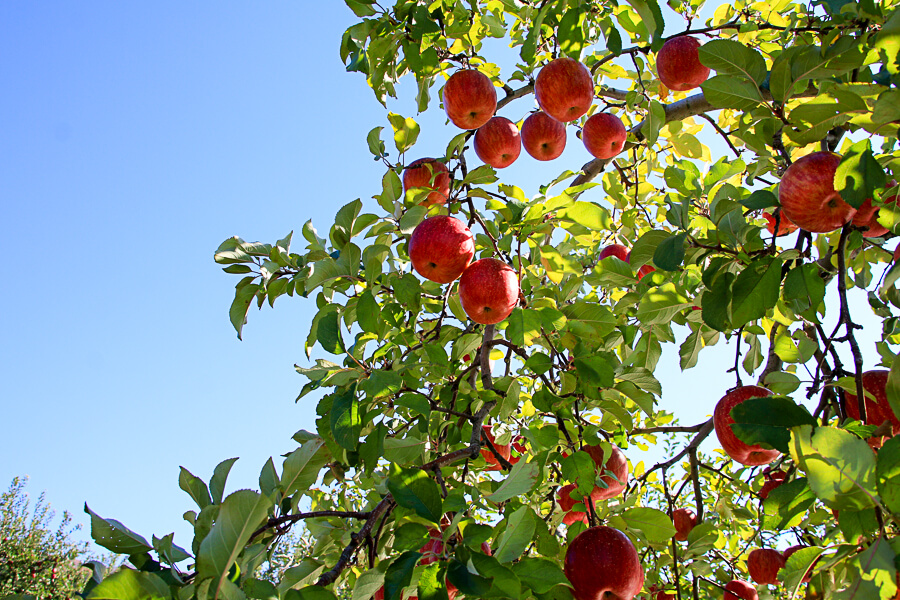 IMG_4406_紅葉とりんご
