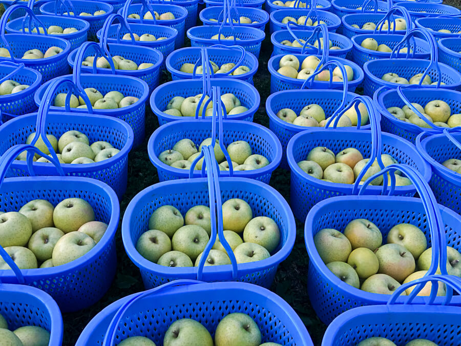 j_171107-10_青りんごの代表格 「王林」の収穫