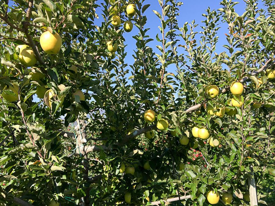 j_171107-2_青りんごの代表格 「王林」の収穫