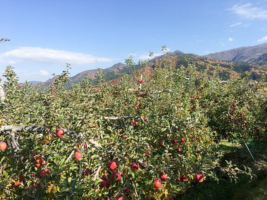 j_171115-42_りんごの王様 サンふじの収穫が始まりました