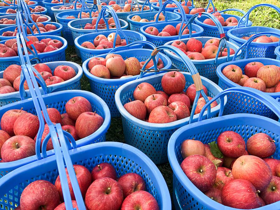 j_171115-45_りんごの王様 サンふじの収穫が始まりました
