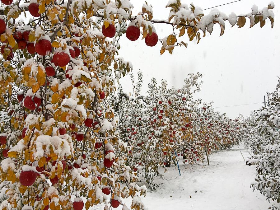j_IMG_3975-180_りんごの王様 サンふじの収穫が始まりました